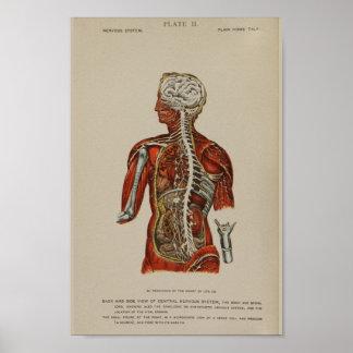 Impresión de la anatomía de los nervios de la