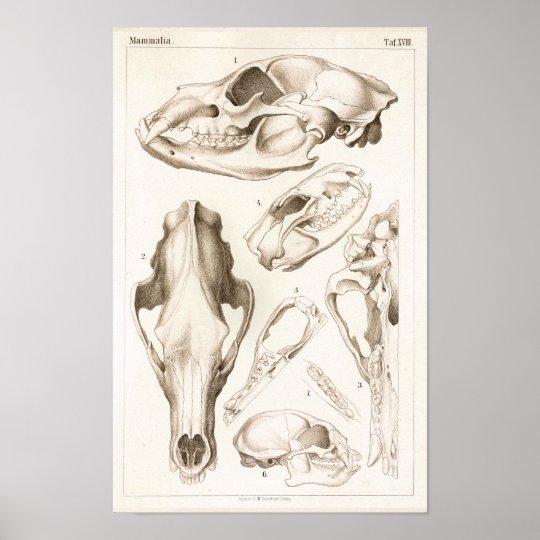 Impresión de la anatomía del cráneo del oso y del   Zazzle.es
