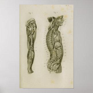 Impresión de la anatomía del vintage de las