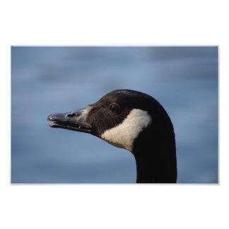 Impresión de la foto del ganso de Canadá