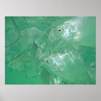 Impresión de plata del Angelfish Póster