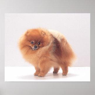 Impresión de Pomeranian
