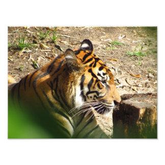 Impresión de reclinación de la foto del tigre