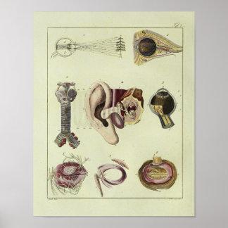 Impresión del arte de la anatomía del oído del ojo