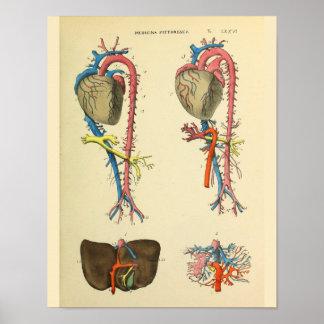 Impresión del arte de la anatomía del vintage de