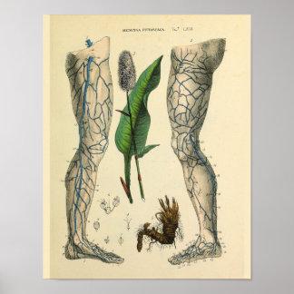 Impresión del arte de la anatomía del vintage del