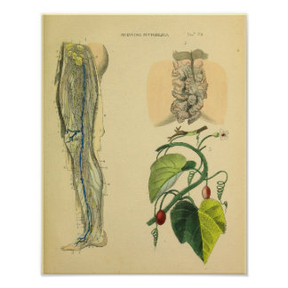 Impresión del arte de Vinatge de la anatomía de