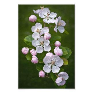 Impresión del flor del Malus Fotos