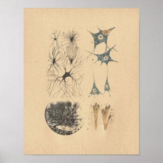 Impresión del vintage de la anatomía de la neurona