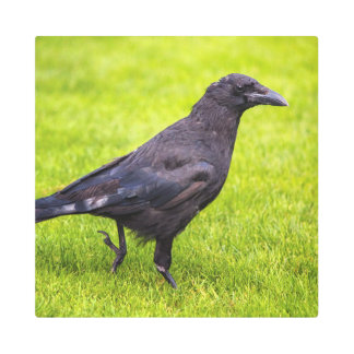 Impresión En Metal Cuervo negro