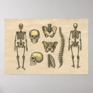 Impresión esquelética humana de la anatomía 1841