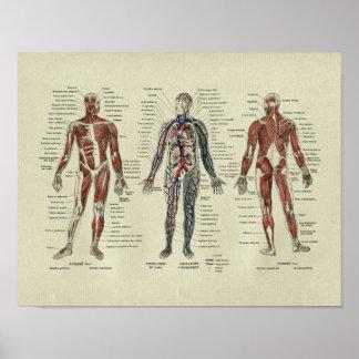 Impresión francesa de la anatomía del músculo del poster