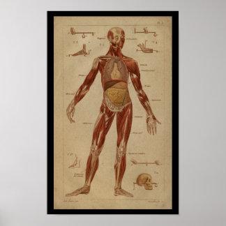 Impresión humana de la anatomía del vintage