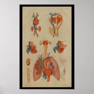 Impresión humana de la anatomía del vintage de los
