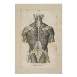 Impresión humana de la anatomía del vintage del