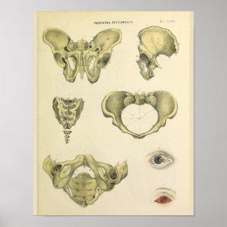 Impresión pélvica del arte de la anatomía del