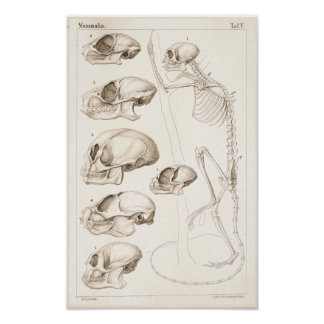 Impresión veterinaria de la anatomía de los monos