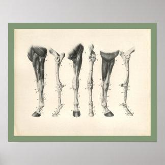 Impresión veterinaria de la anatomía del músculo