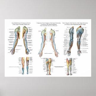 Inervación del nervio del brazo del poster de las póster
