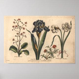 Iris botánico del azul de la impresión del arte de