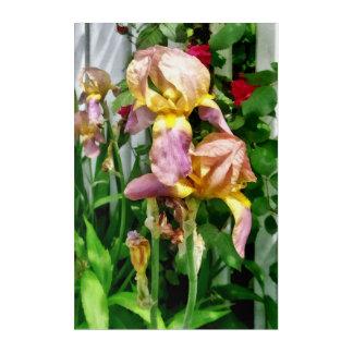 Iris por la valla de estacas impresión acrílica