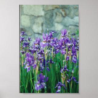 Iris Posters
