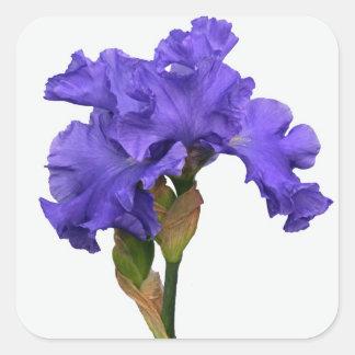 Iris púrpura pegatina cuadrada