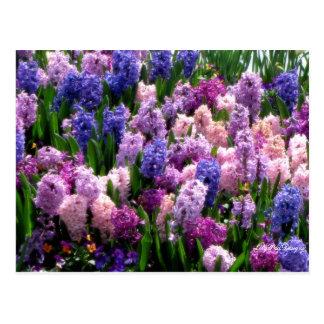 Jacinto común floral de la postal