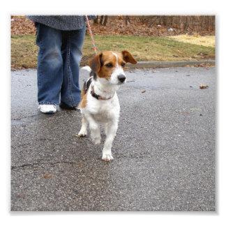 Jack Russell Terrier con una pata para arriba Foto