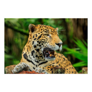 Jaguar muestra sus dientes, Belice Póster