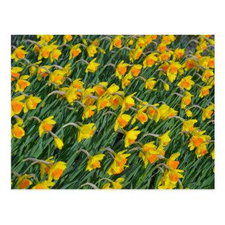 Jardín amarillo brillante de los narcisos de la pr