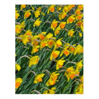 Jardín amarillo brillante de los narcisos de la pr postal