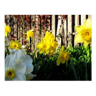 Jardín de narcisos postales