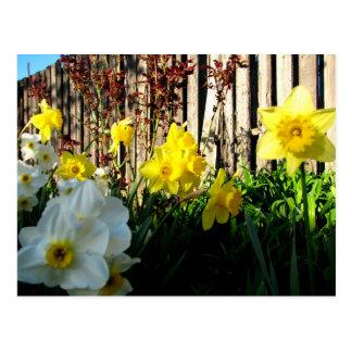Jardín de narcisos postal