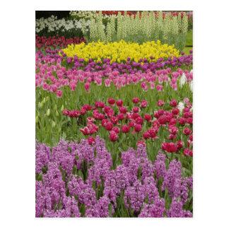 Jardín de tulipanes, de narcisos, y del jacinto postal