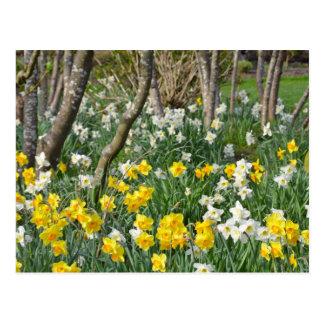 Jardín hermoso del narciso de la primavera postal
