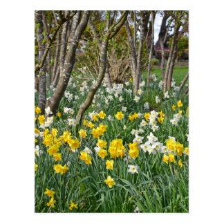 Jardín hermoso del narciso de la primavera tarjeta postal