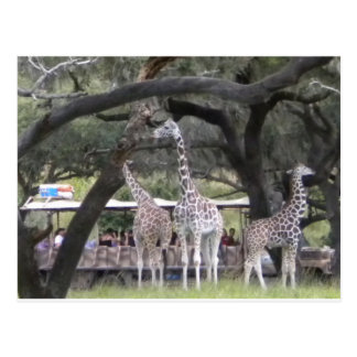 Jirafa 3 en el safari postal