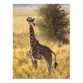 Jirafa juvenil, camelopardalis 2 del Giraffa Postal