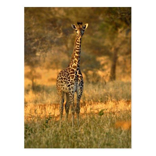 Jirafa juvenil, camelopardalis del Giraffa Postales