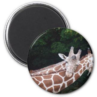 jirafas que frotan cuellos imán redondo 5 cm