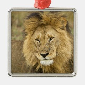 Kenia, Masai Mara. Primer del león. Crédito como: Ornamento De Navidad