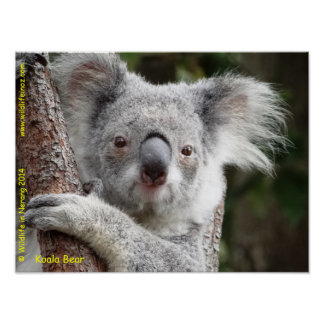 Koala australiana póster