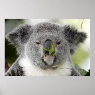 Koala que come el almuerzo Q Come El Koala