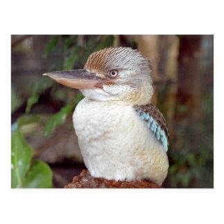Kookaburra que mira la postal derecha