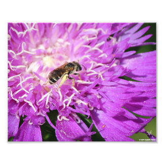 La abeja encendido alimenta el aster