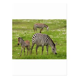 La cebra raya destino africano de la naturaleza postal