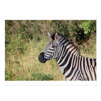 La cebra raya el destino africano animal del safar postal