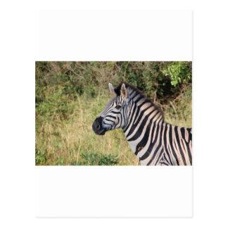 La cebra raya el destino africano animal del postal