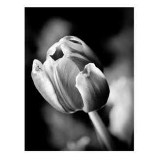 La foto intrigante del tulipán hace una tarjeta em tarjetas postales